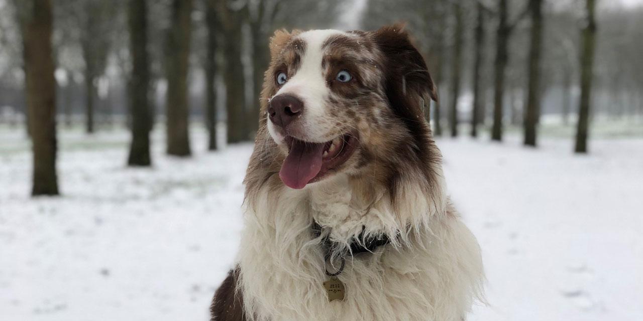Quelles sont les caractéristiques de la médaille de votre chien?